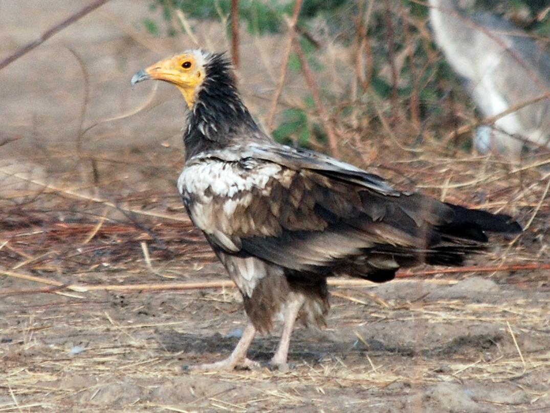 Egyptian Vulture - Nigel Voaden