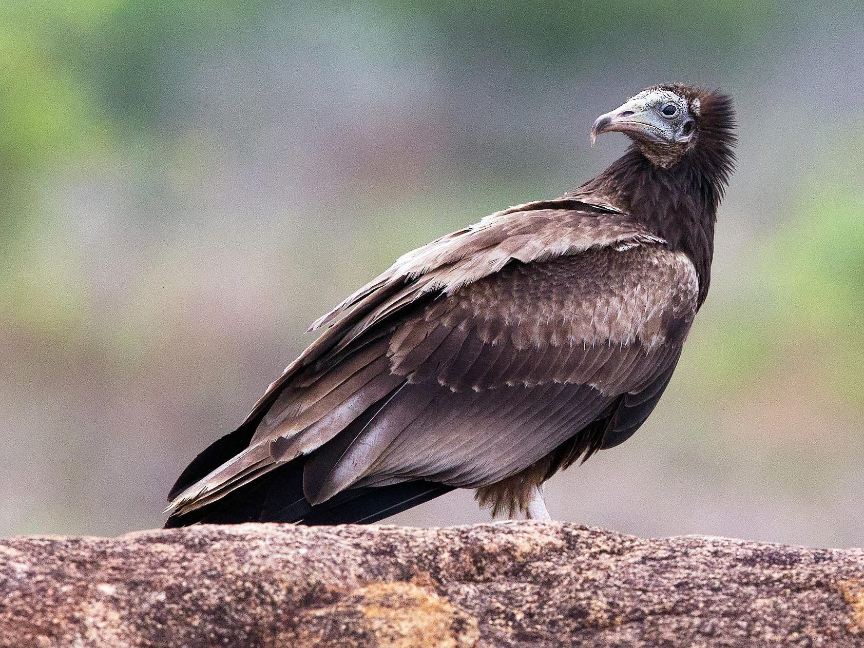 Egyptian Vulture - Subbu Rajan