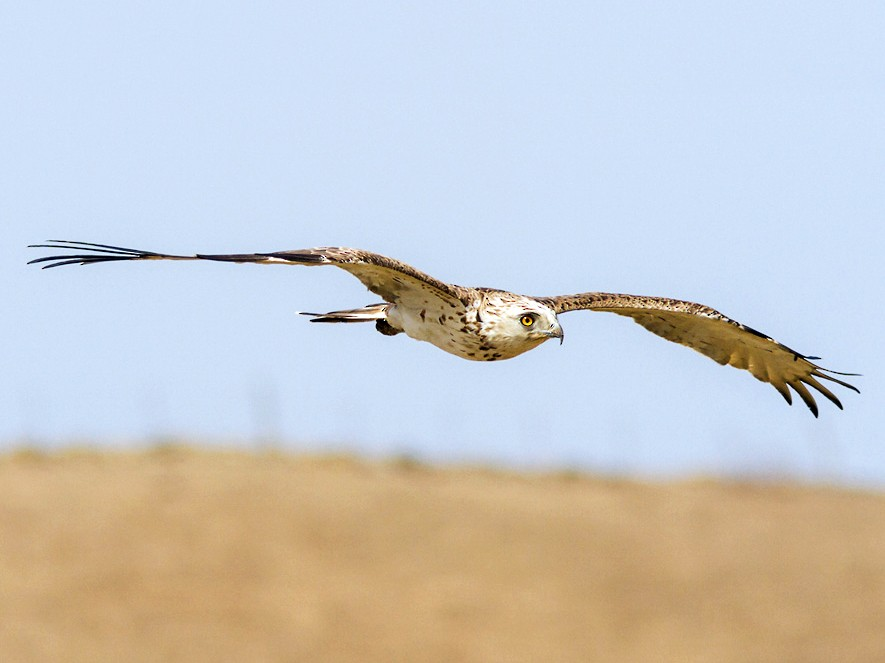 Short-toed Snake-Eagle - Yeray Seminario