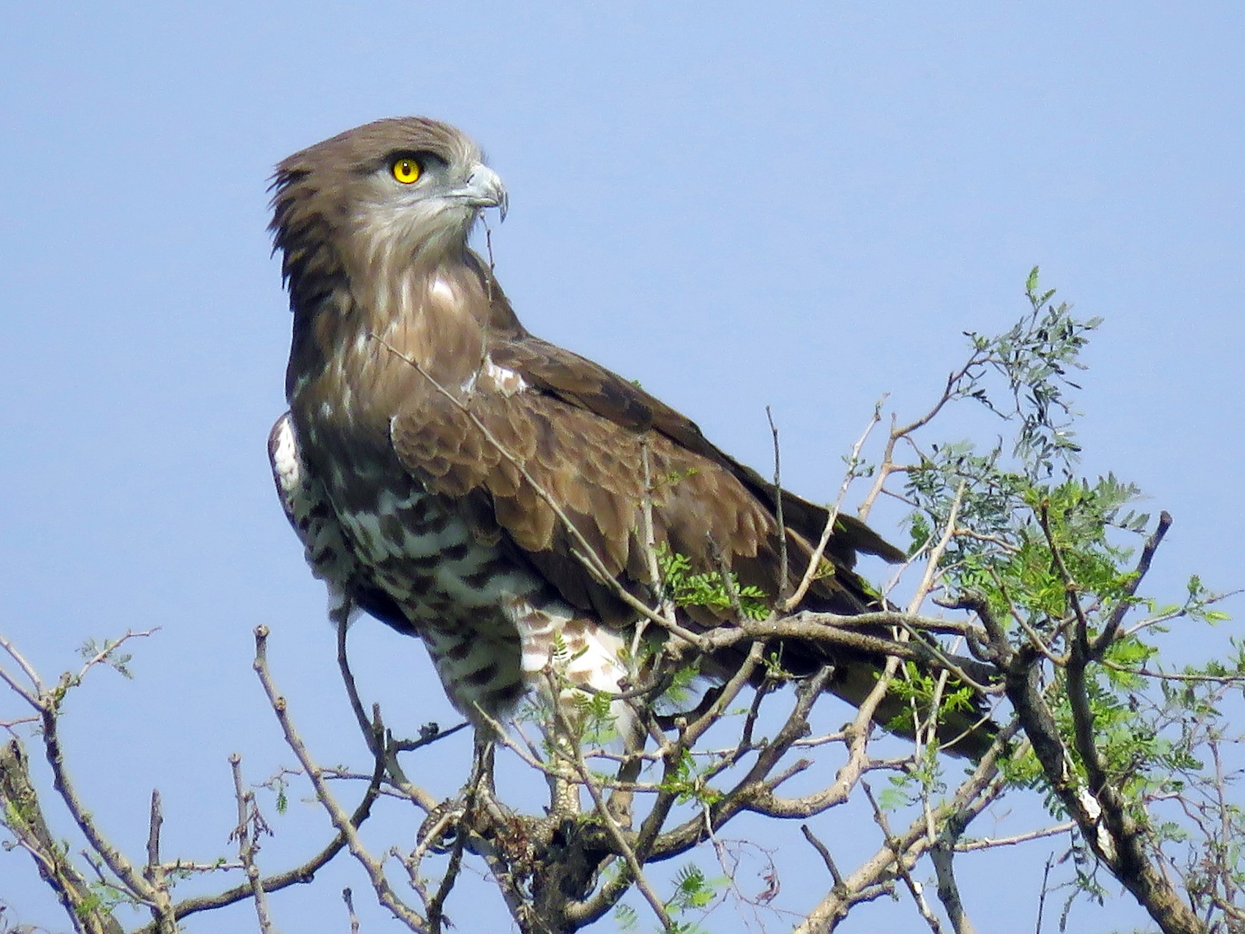 Short-toed Snake-Eagle - Ritvik Singh