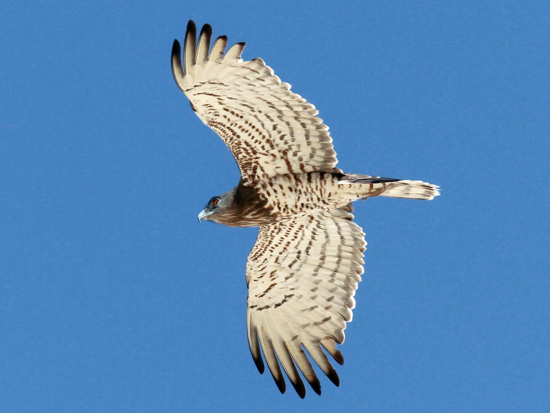 Short-toed Snake-Eagle - Volker Hesse