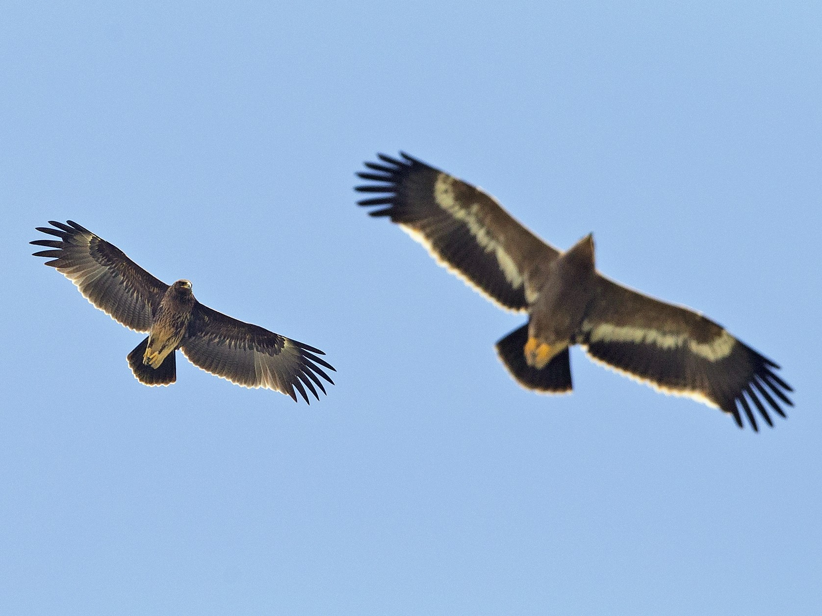 Greater Spotted Eagle - Omar alshaheen