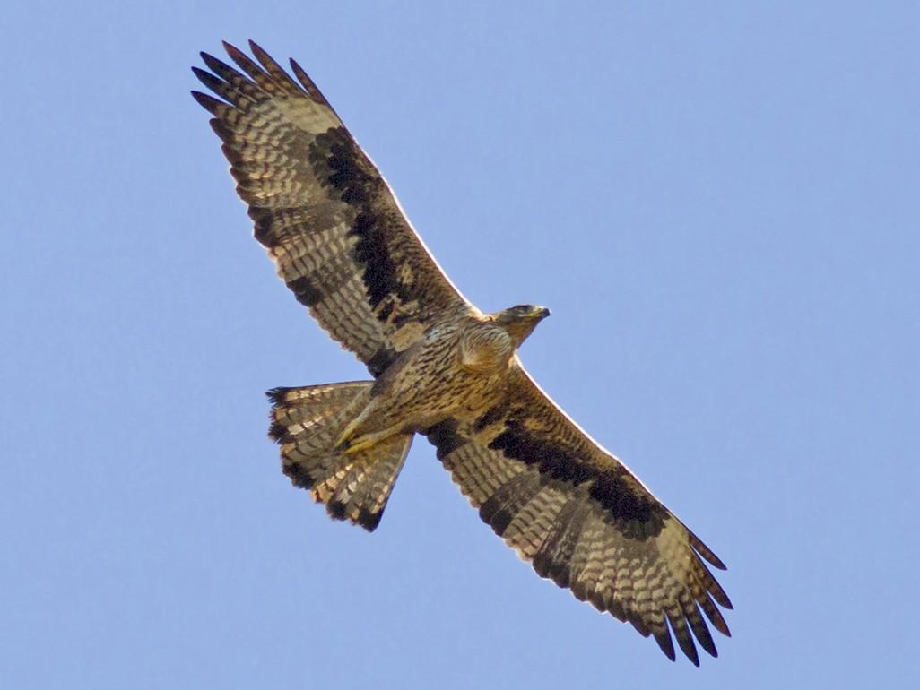 Bonelli's Eagle - Javi Elorriaga