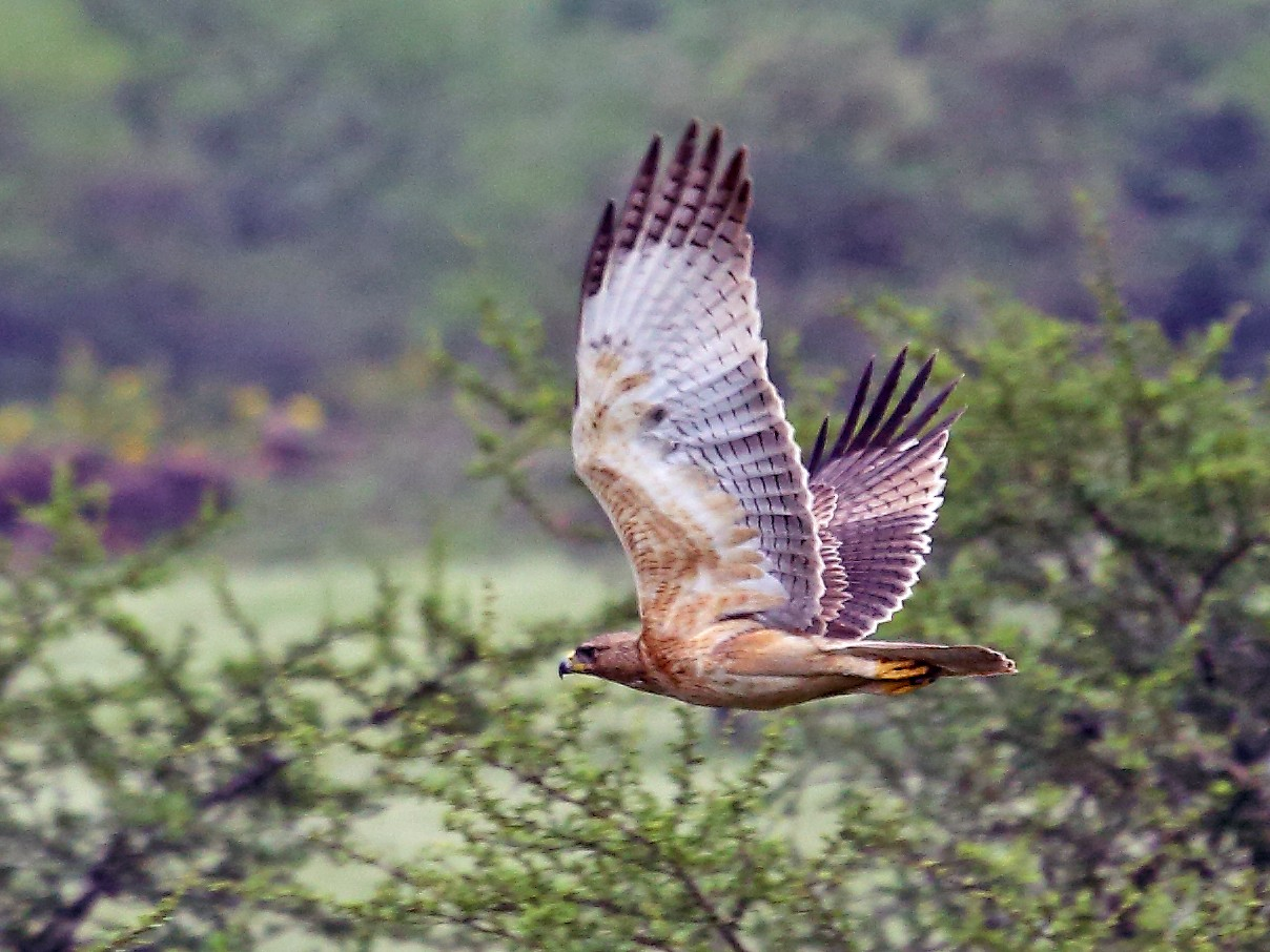 Bonelli's Eagle - Albin Jacob