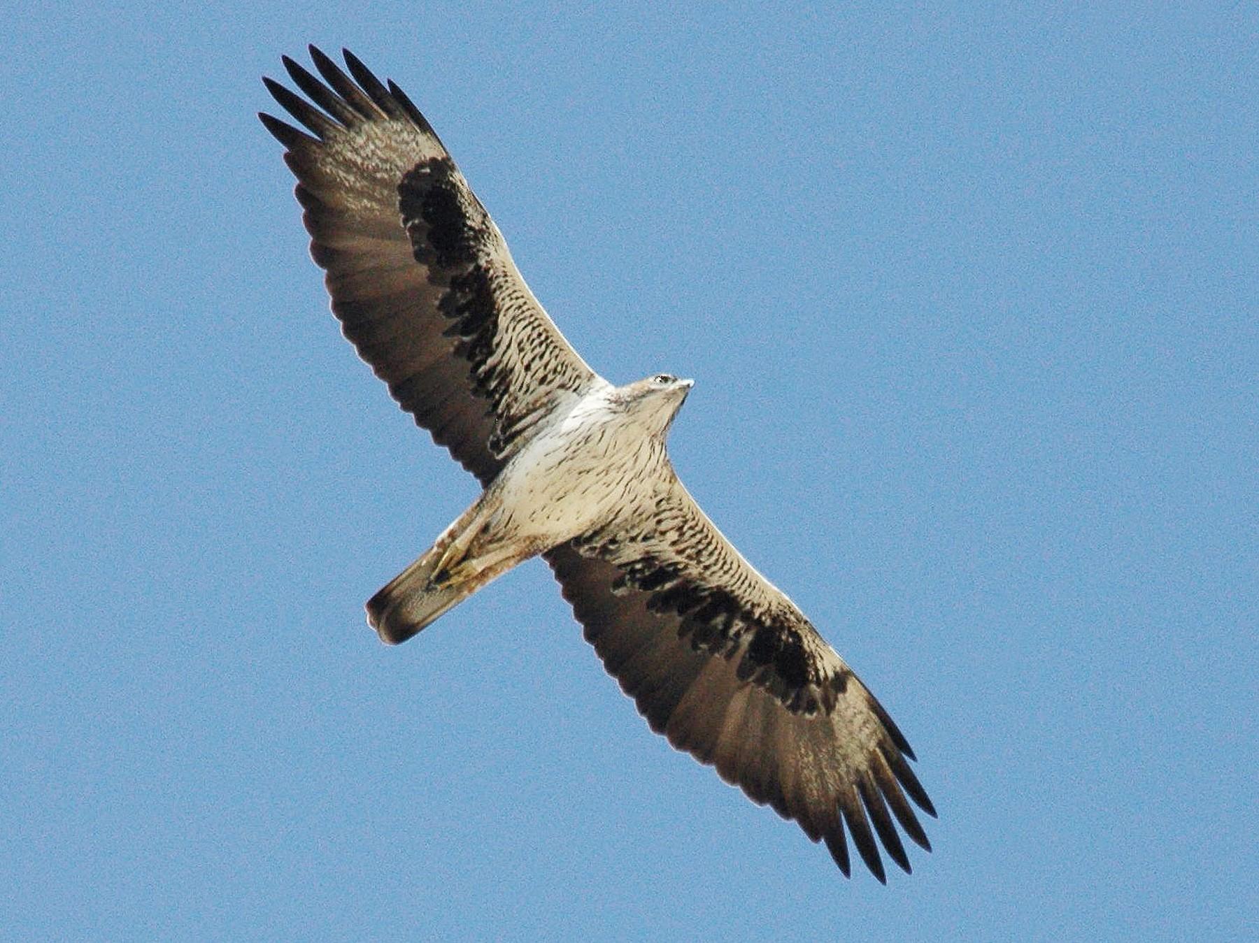 Bonelli's Eagle - Peter Arras
