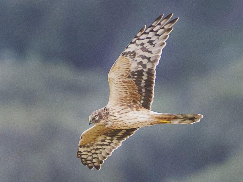 Pallid Harrier - Pedro Jordano