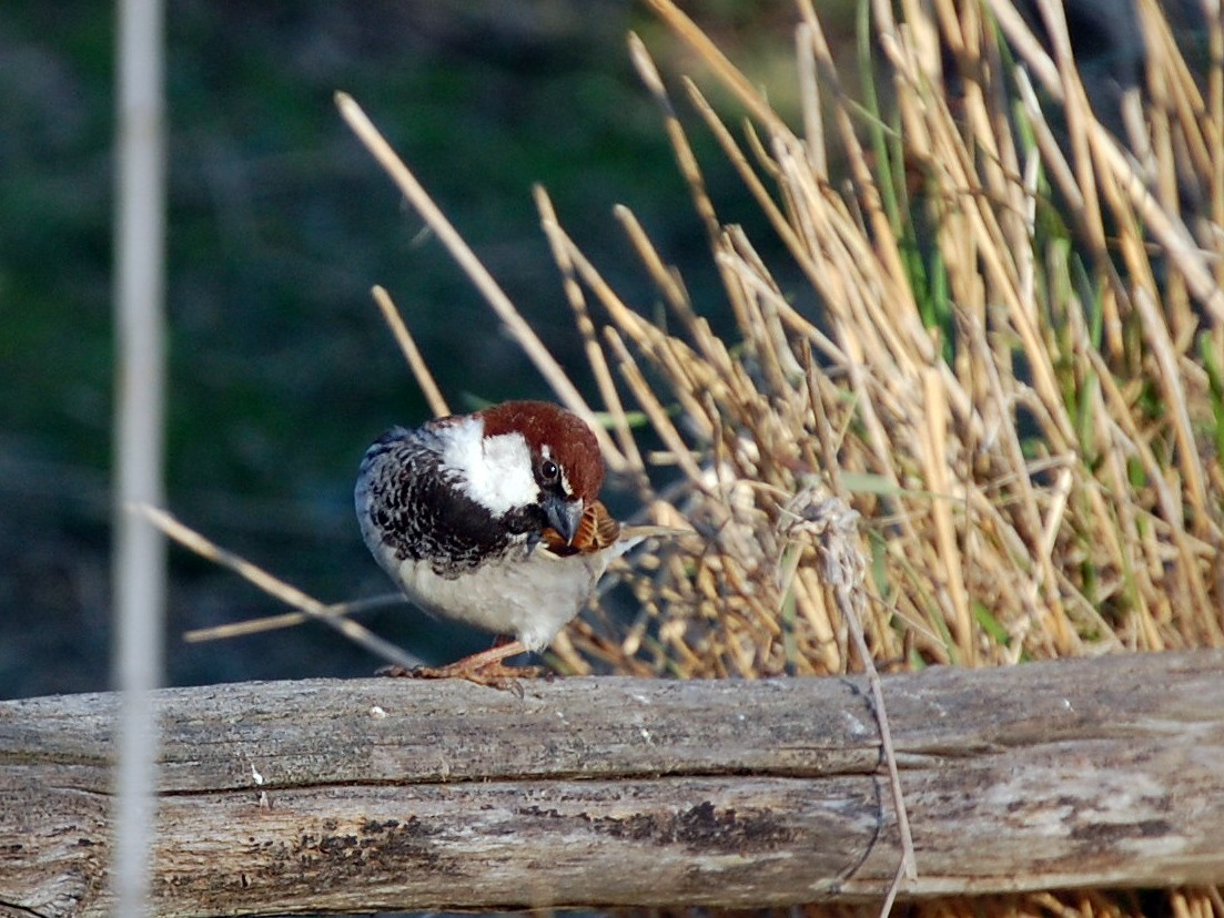 Italian Sparrow - irina shulgina
