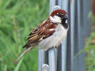 - Italian Sparrow