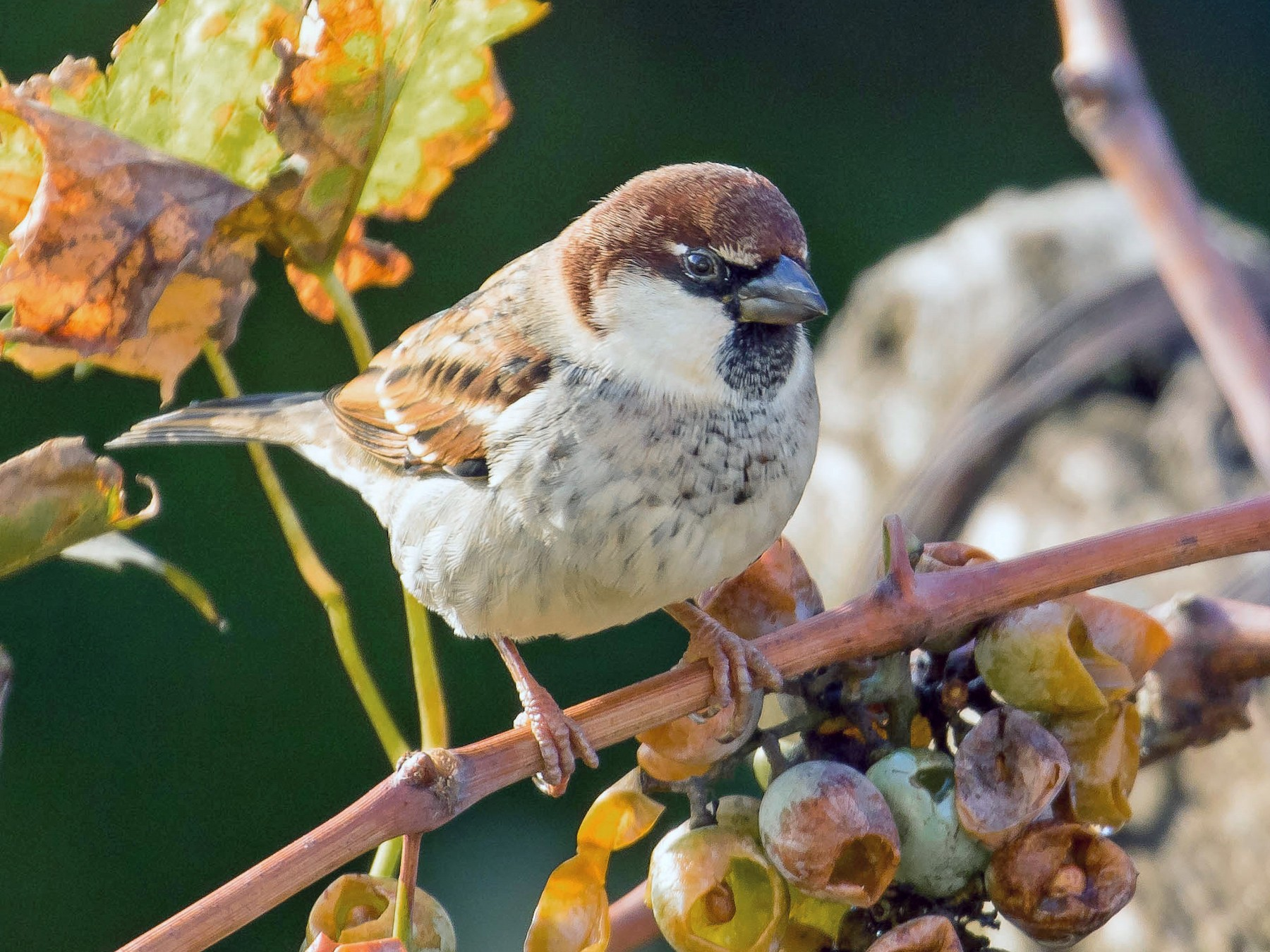 Italian Sparrow - John Reynolds
