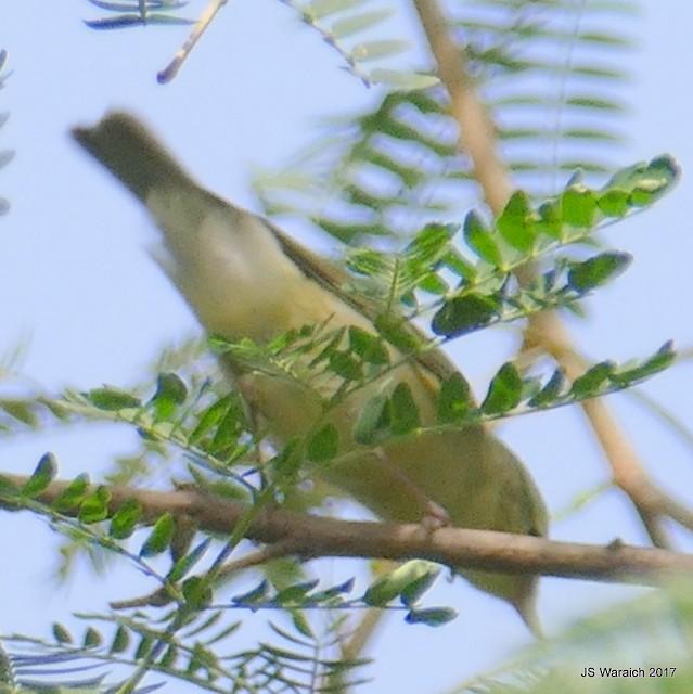 ©Jaswinder Waraich - Greenish Warbler