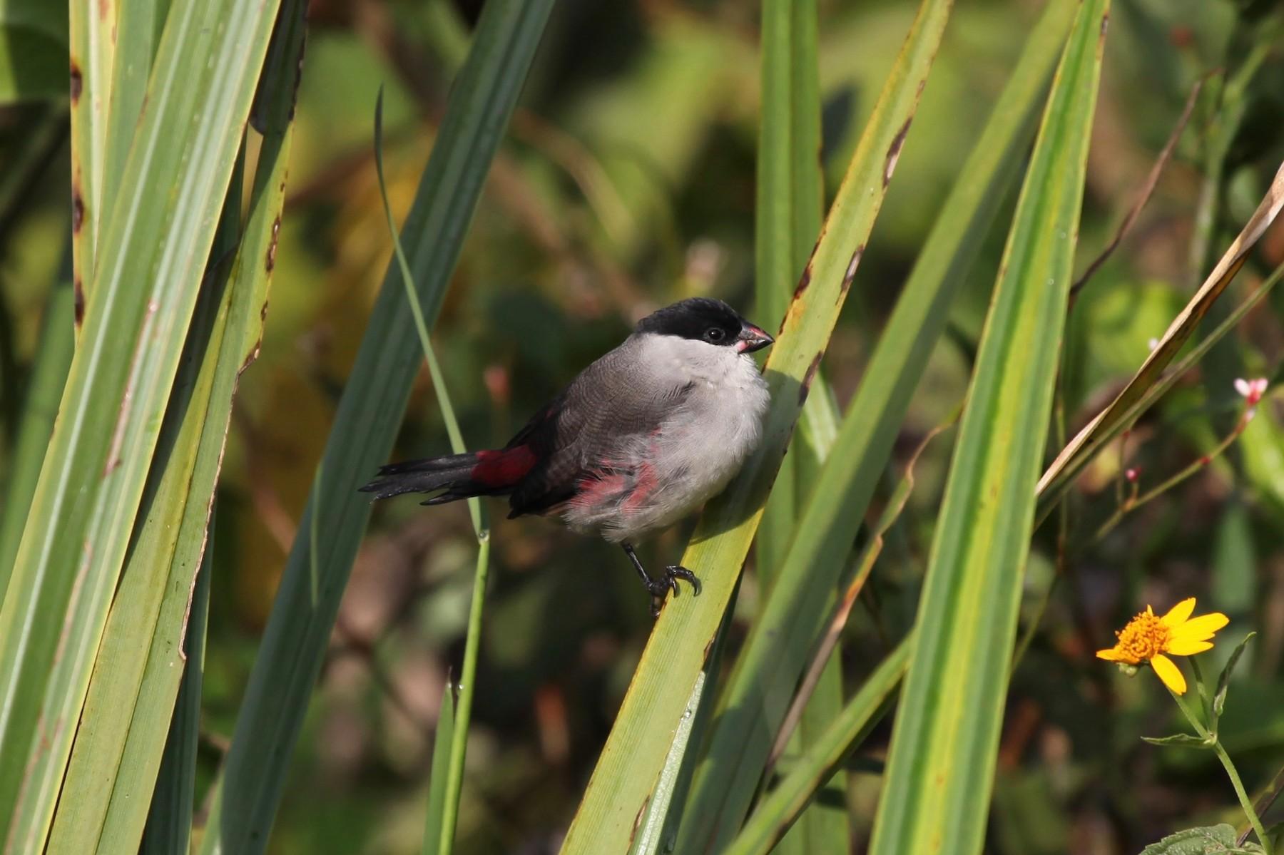 Black-crowned Waxbill - Dan Rabosky