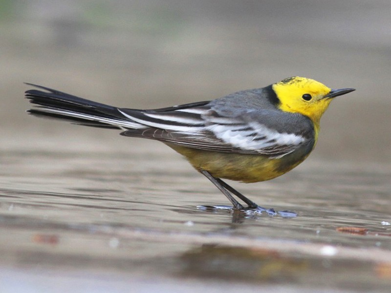 Citrine Wagtail - Anonymous eBirder