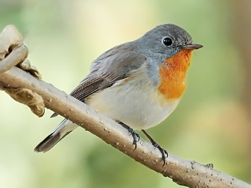 Red-breasted Flycatcher - Saurabh Agrawal