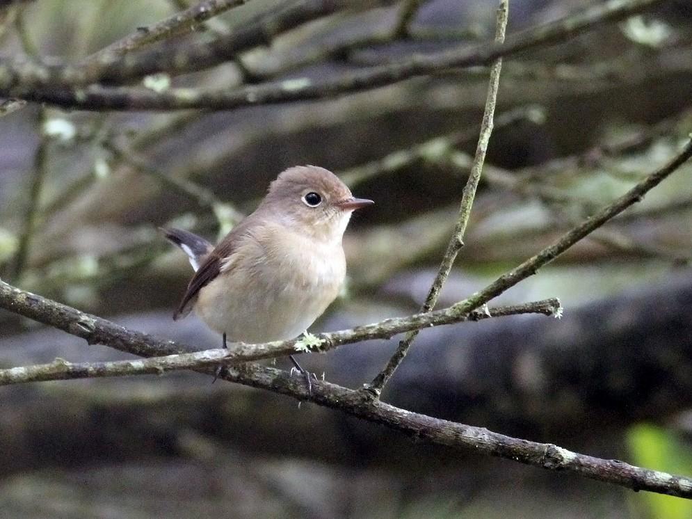 Red-breasted Flycatcher - Adrien Mauss