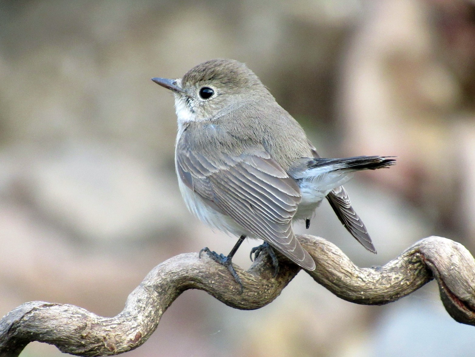 Red-breasted Flycatcher - Rahul Paranjape