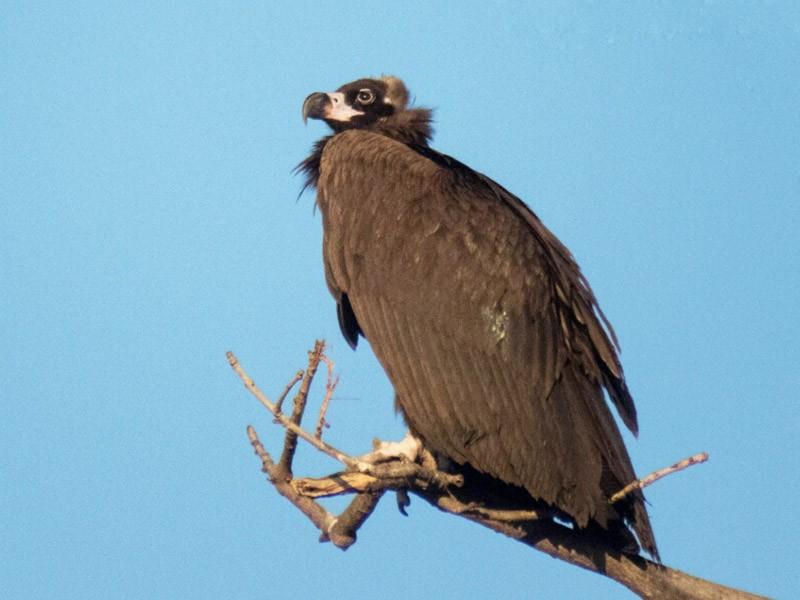 Cinereous Vulture - Vivek Rawat