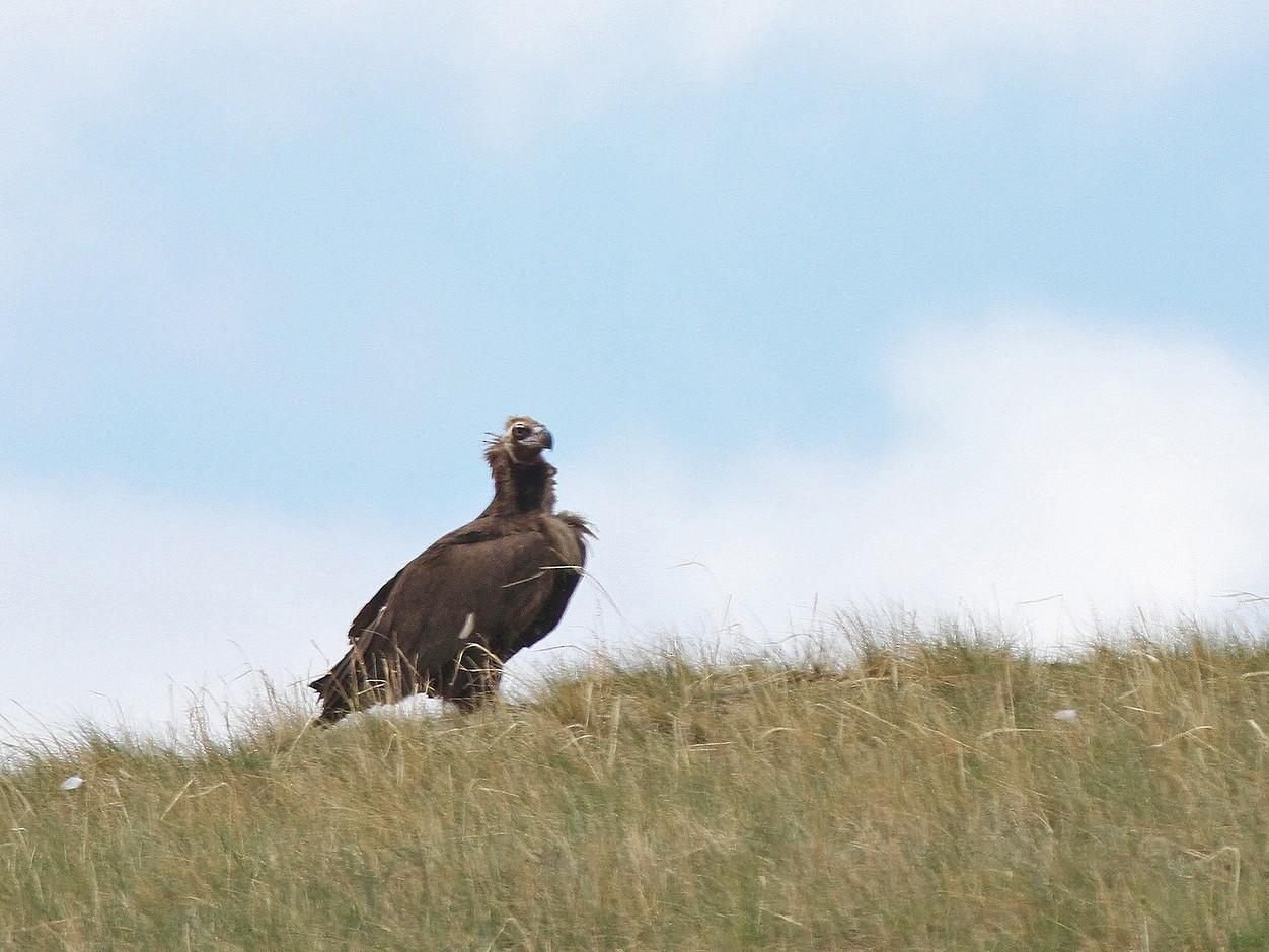 Cinereous Vulture - Jeremiah Trimble