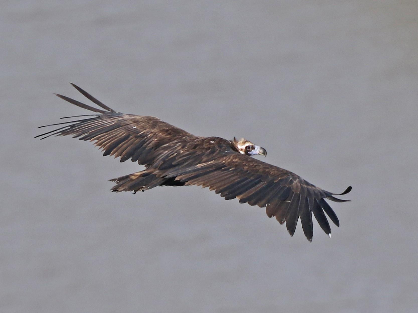 Cinereous Vulture - Daniel Jauvin