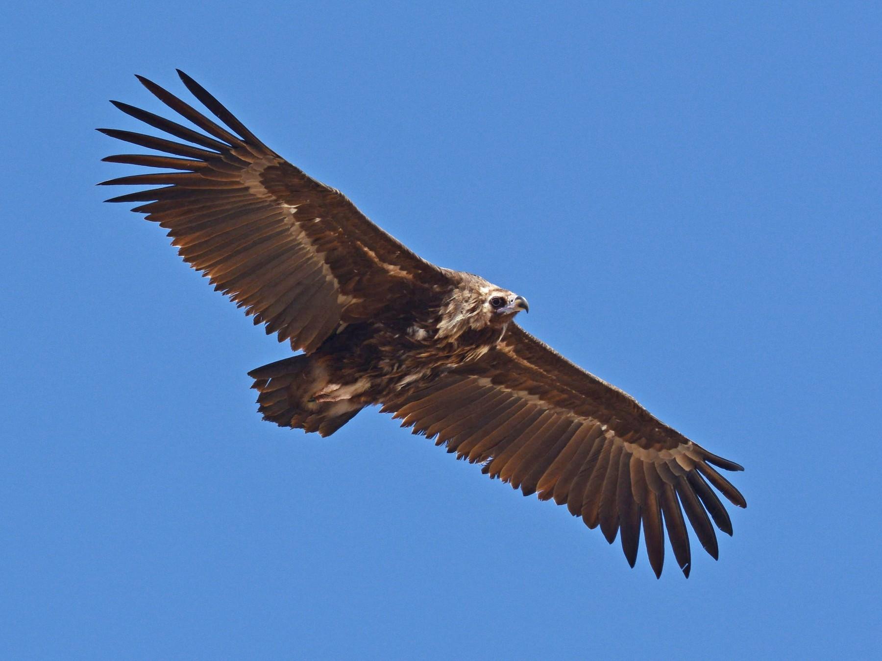 Cinereous Vulture - Batmunkh Davaasuren