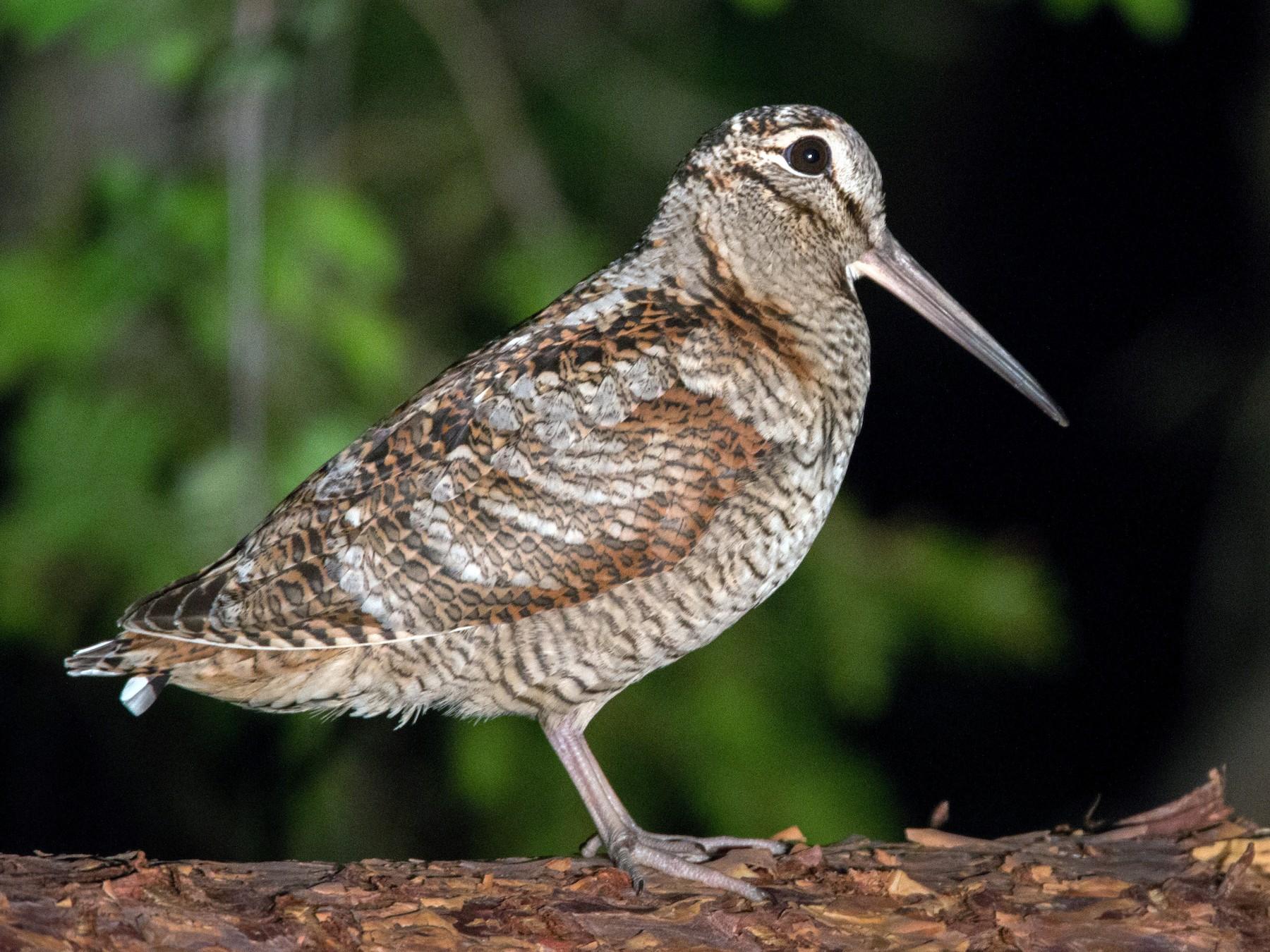 Eurasian Woodcock - Ian Davies