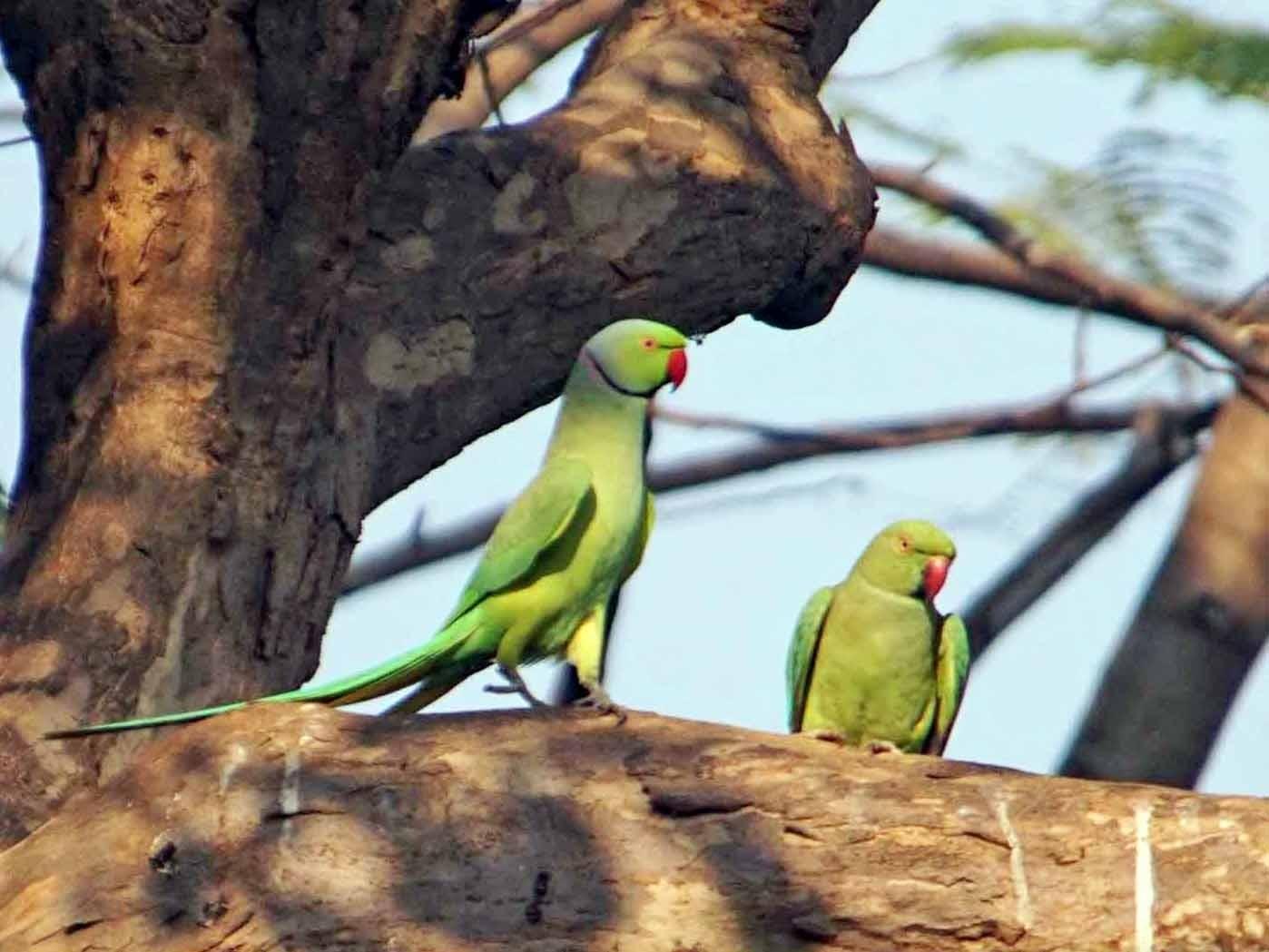 Rose-ringed Parakeet - John Daniel