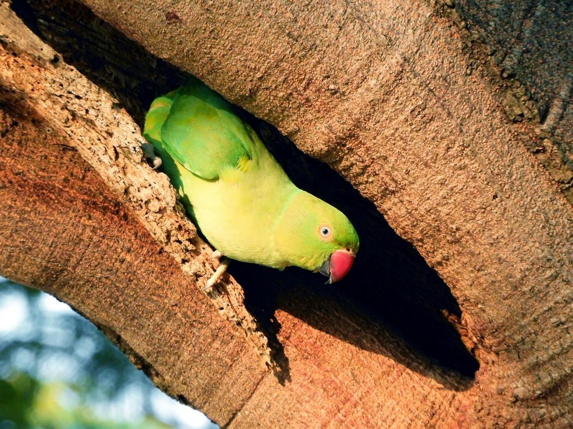 Rose-ringed Parakeet - Tarachand Wanvari