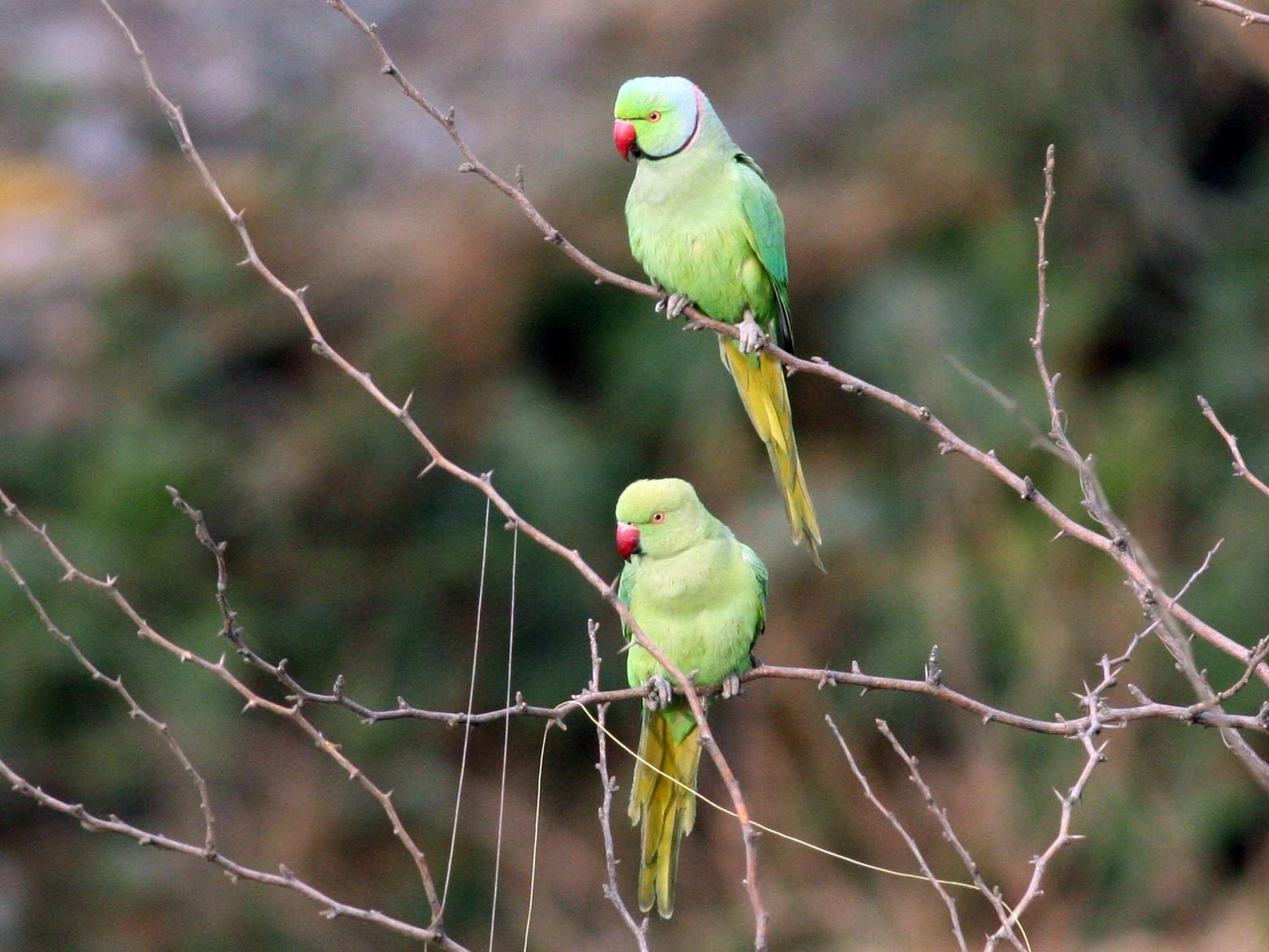 Rose-ringed Parakeet - Nate Swick