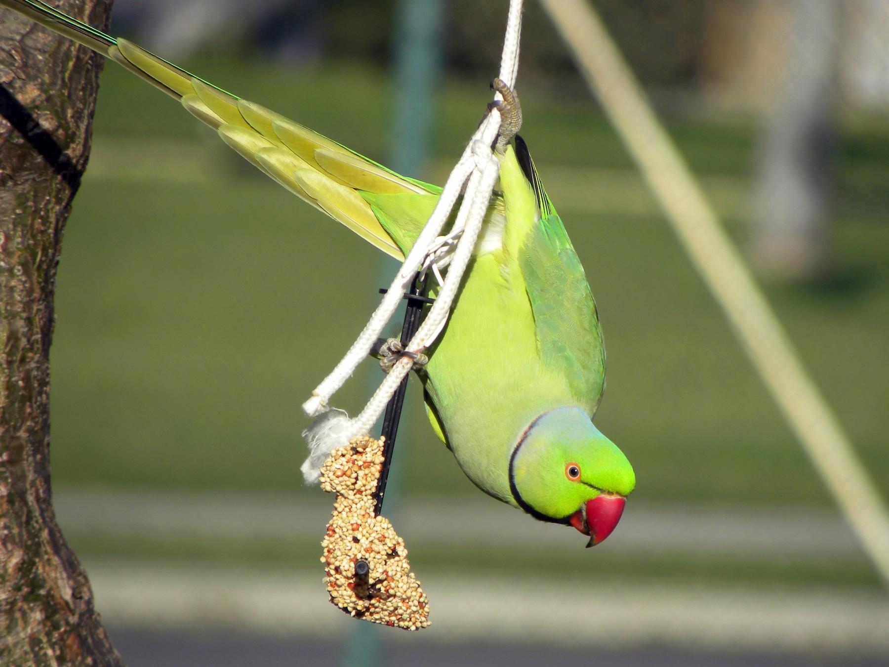 Rose-ringed Parakeet - Alex Moore