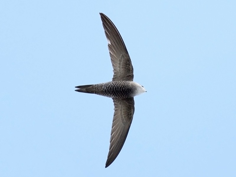 Pallid Swift - Adrien Mauss