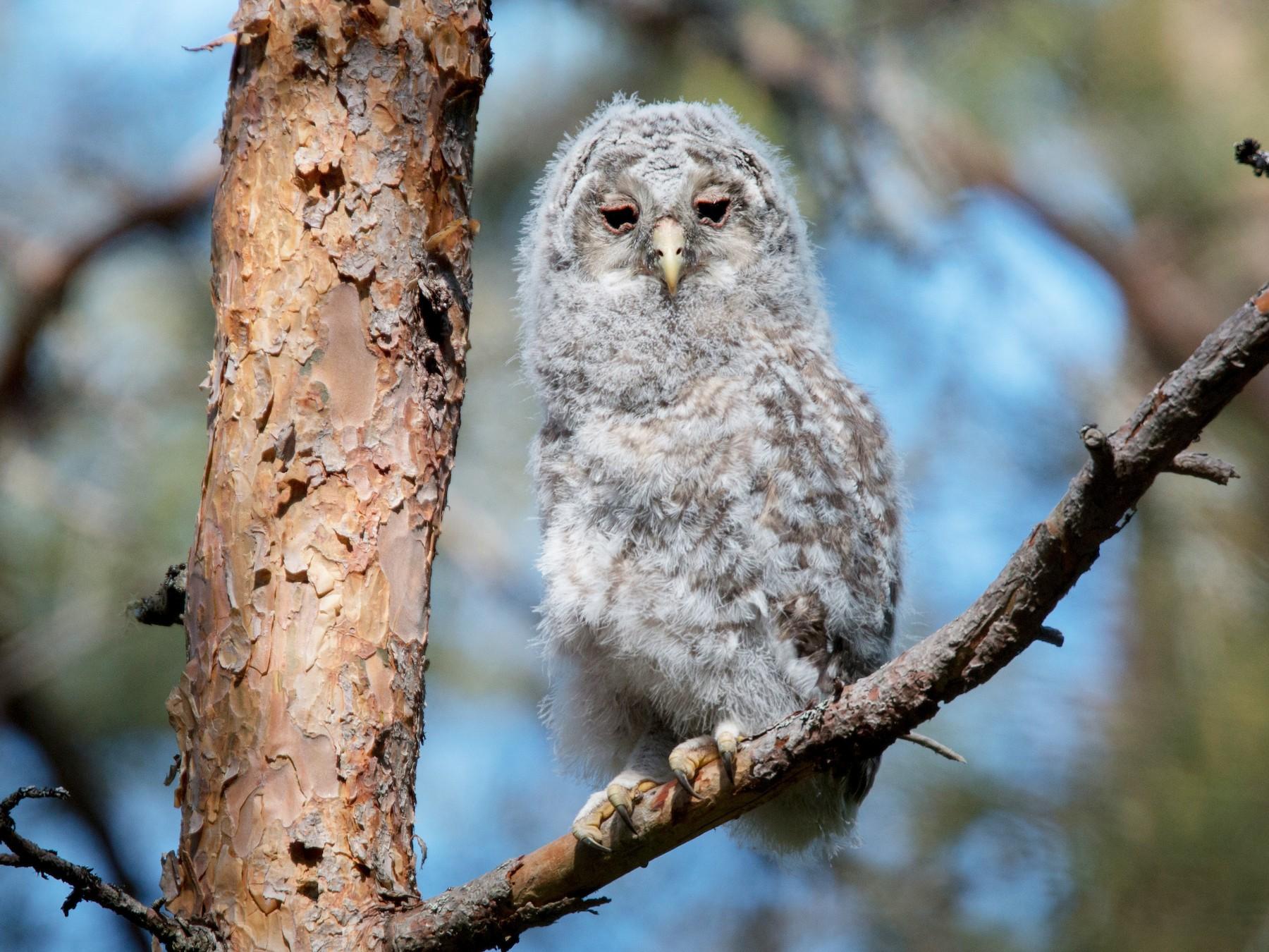 Ural Owl - Ian Davies