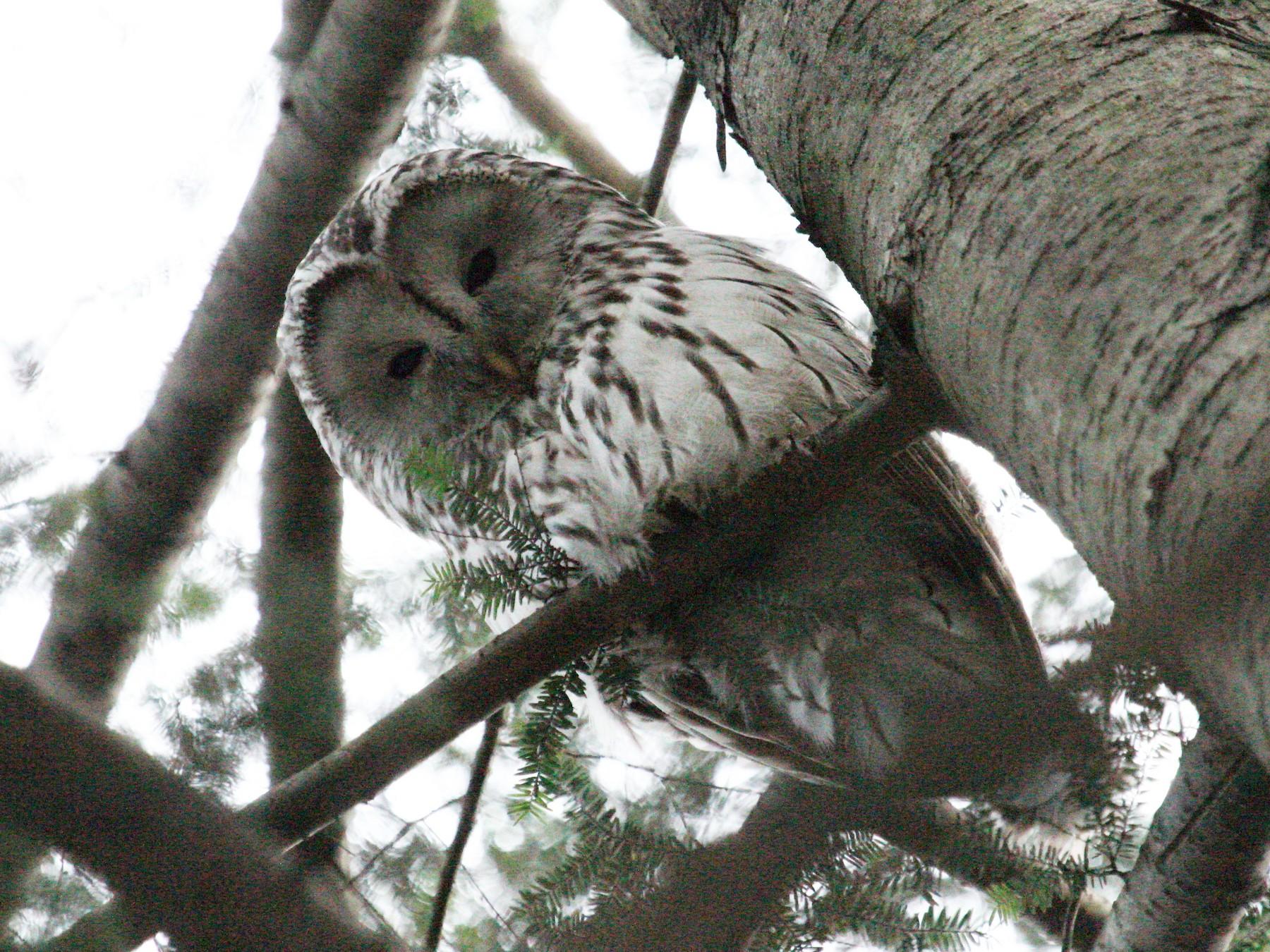 Ural Owl - Andrey Vlasenko