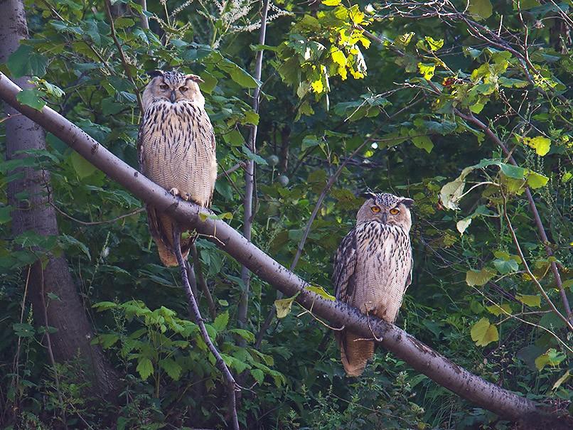Eurasian Eagle-Owl - Craig Brelsford