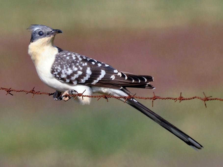 Great Spotted Cuckoo - Jorge  Safara