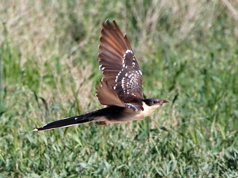 Great Spotted Cuckoo - Eitan Altman