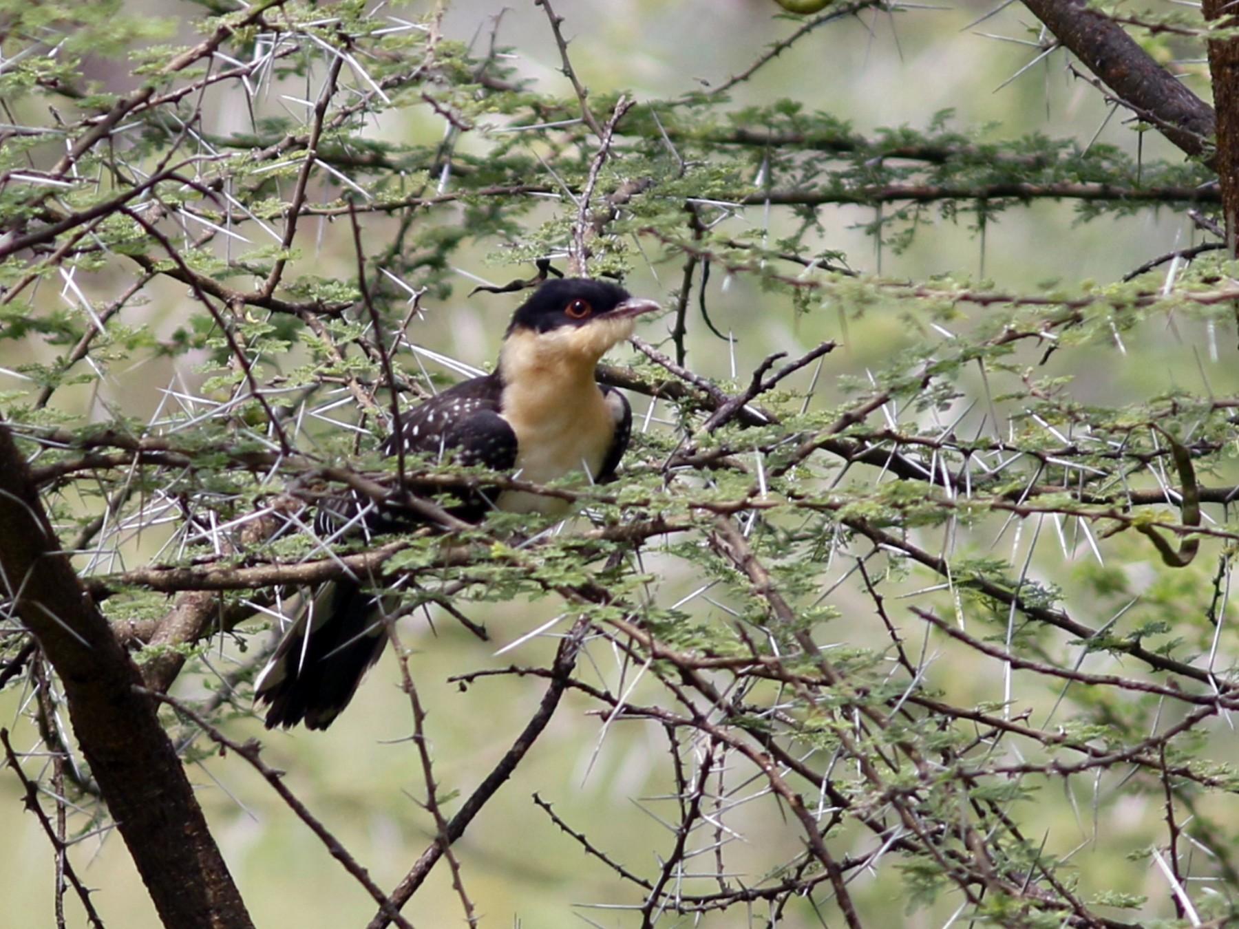 Great Spotted Cuckoo - John Sullivan