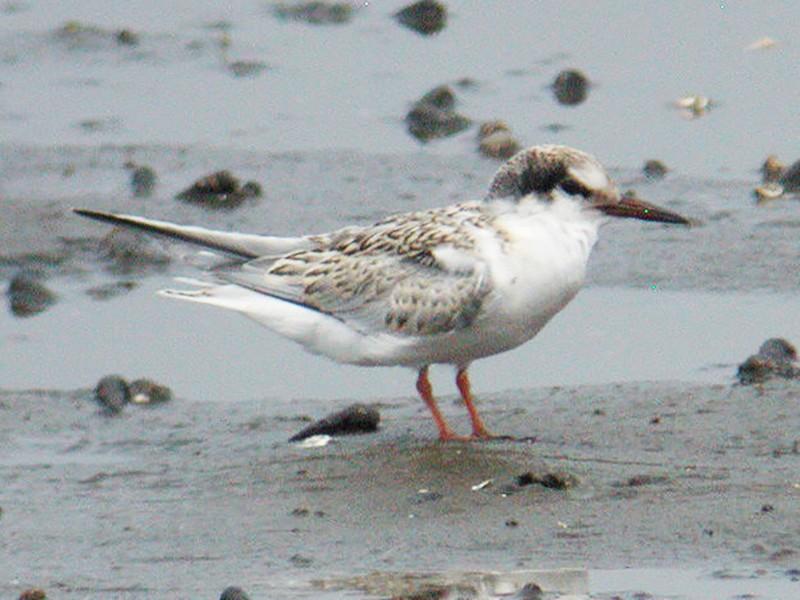Little Tern - William Hull