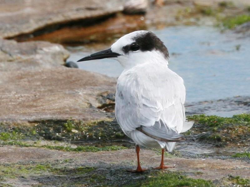 Little Tern - Jesse Gibson
