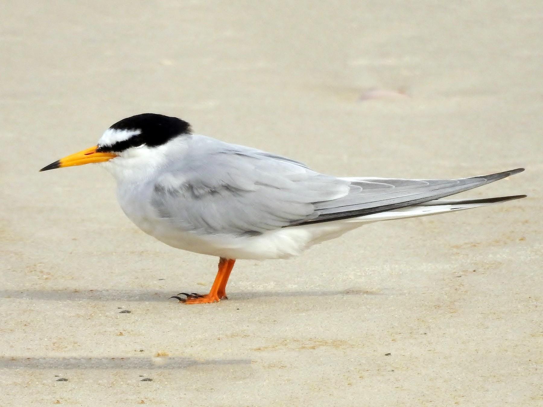 Little Tern - Steven McBride