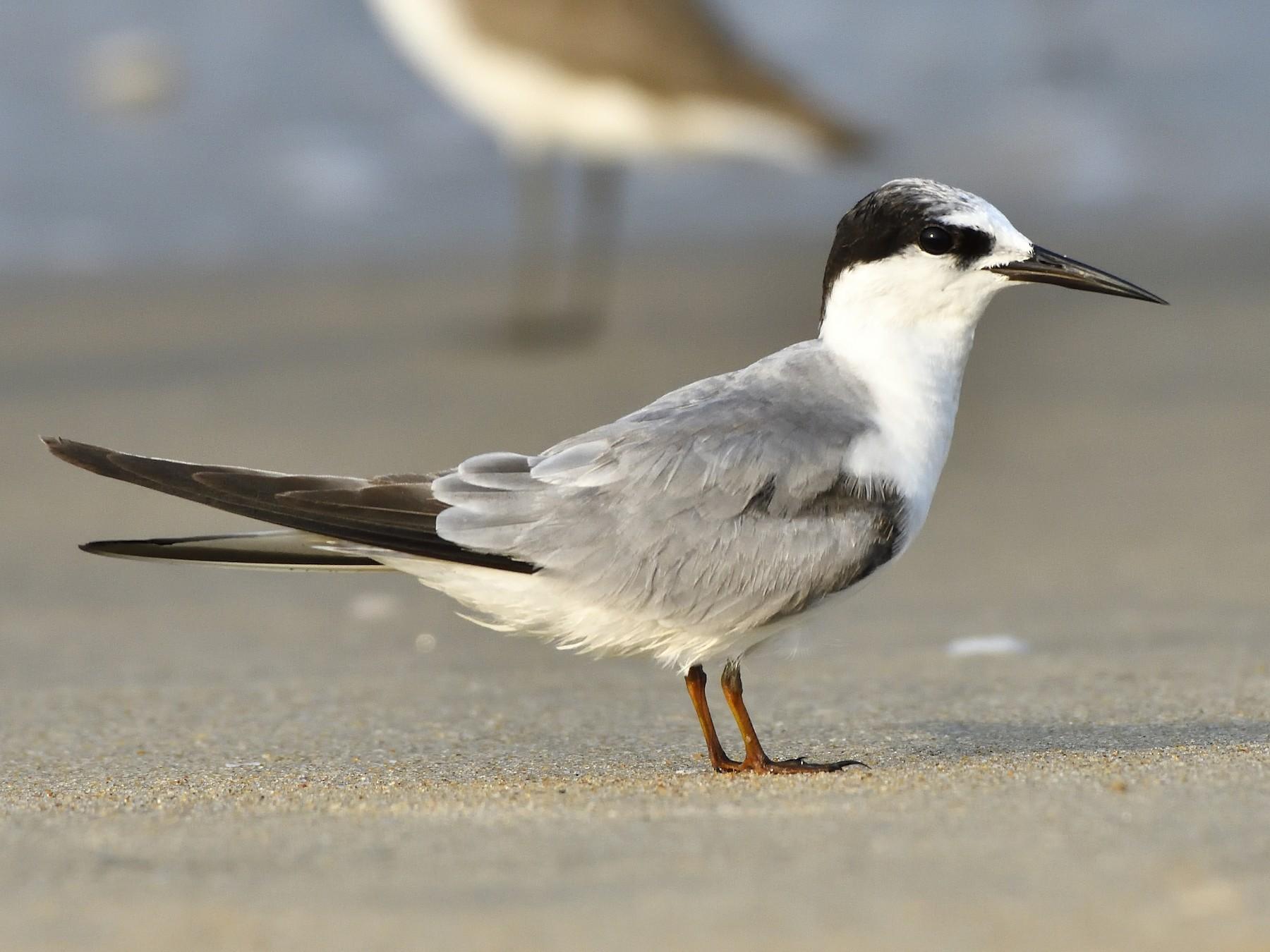 Little Tern - Polly Kalamassery