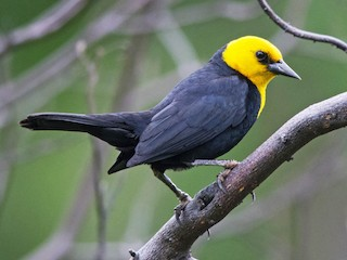 - Yellow-hooded Blackbird