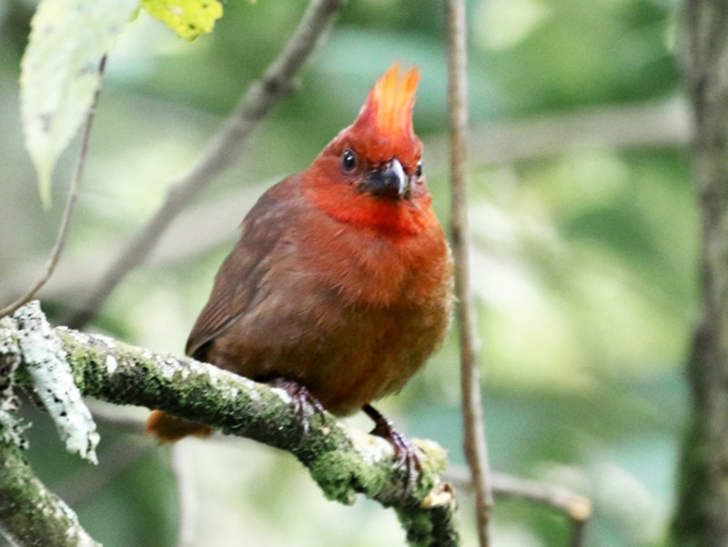 Crested Ant-Tanager - Maurice Raymond