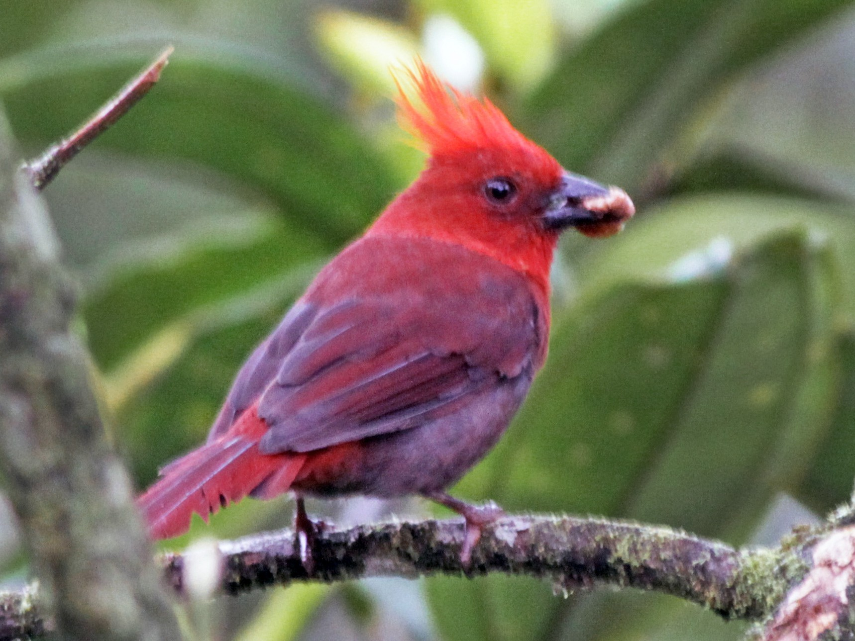 Crested Ant-Tanager - Ian Davies