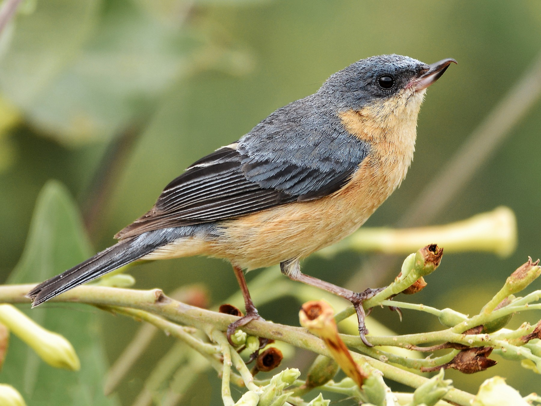Rusty Flowerpiercer - Fisher Chavez