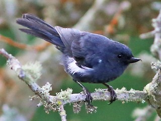 - White-sided Flowerpiercer