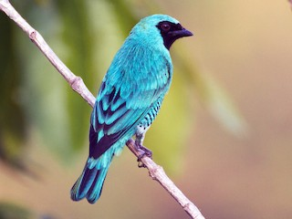 - Swallow Tanager