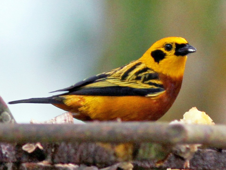 Golden Tanager - Jay McGowan