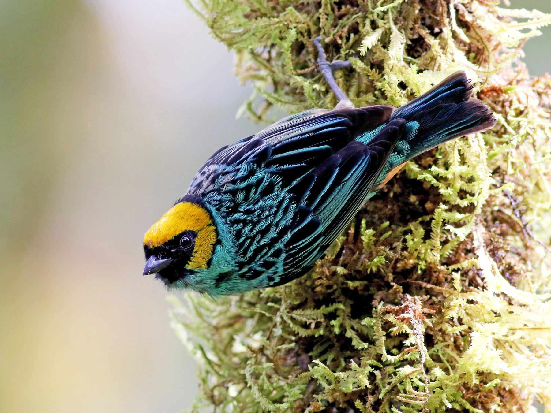 Saffron-crowned Tanager - Jay McGowan