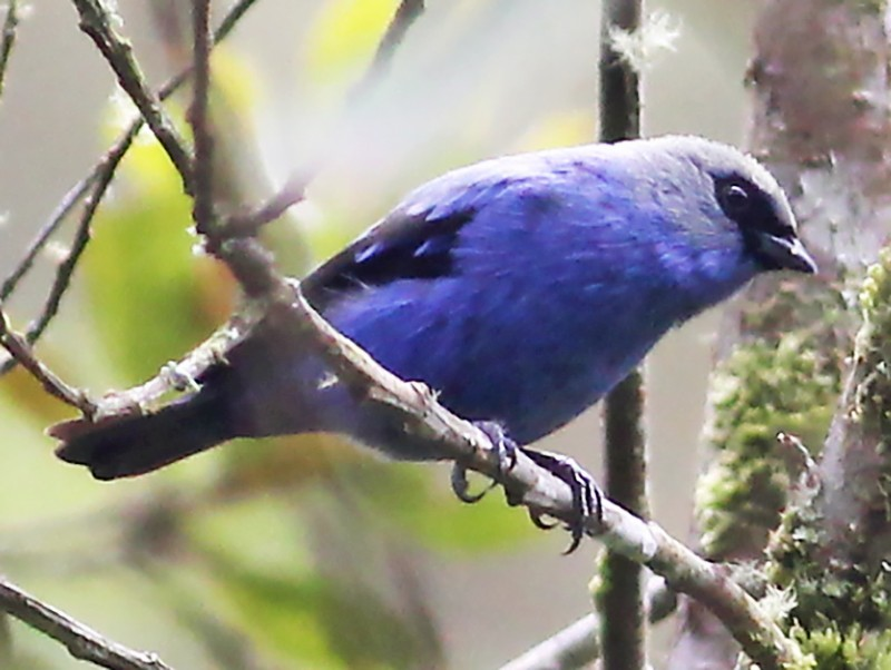 Blue-and-black Tanager - Jason Leifester