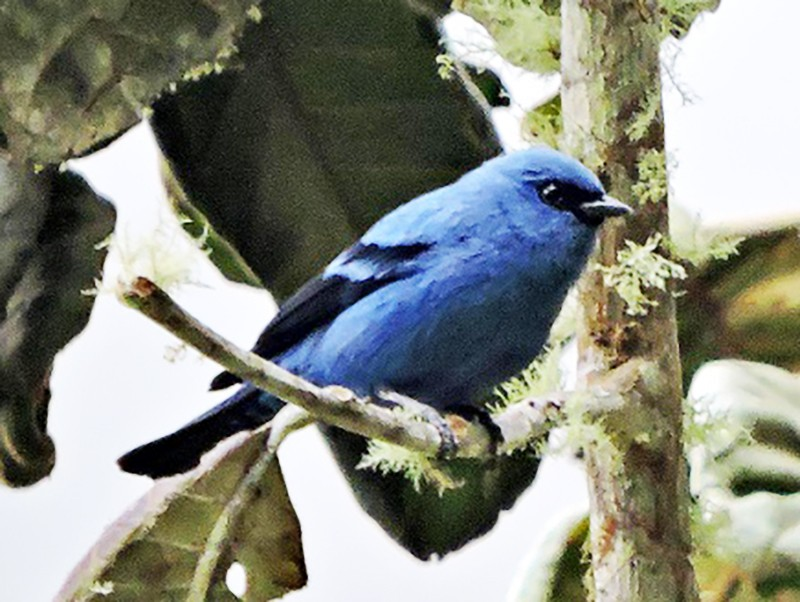 Blue-and-black Tanager - felipe espinosa