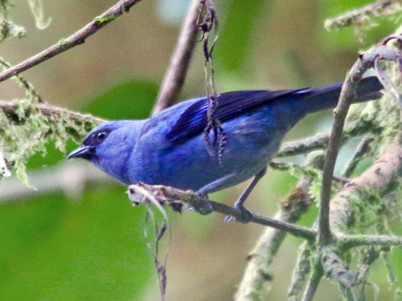 Blue-and-black Tanager - Gustino Lanese